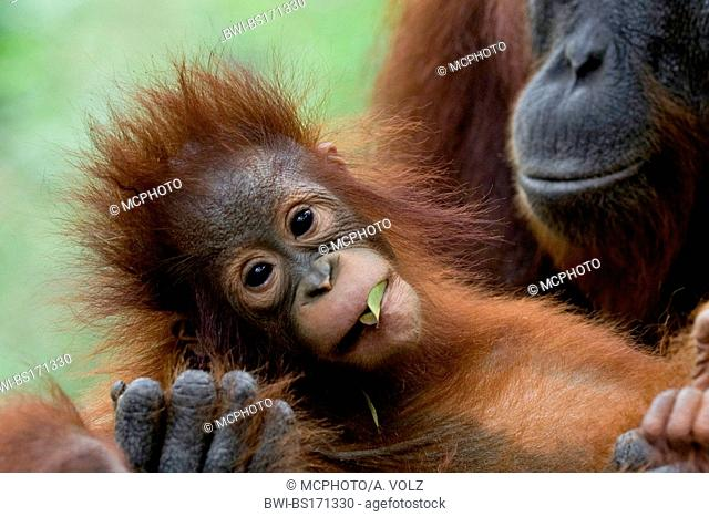 Bornean orangutan (Pongo pygmaeus pygmaeus), female with baby, Indonesia, Borneo, Tanjung Puting National Park