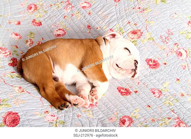 English Bulldog. Puppy (7 weeks old) sleeping on a blue blanket with rose flower print. Germany