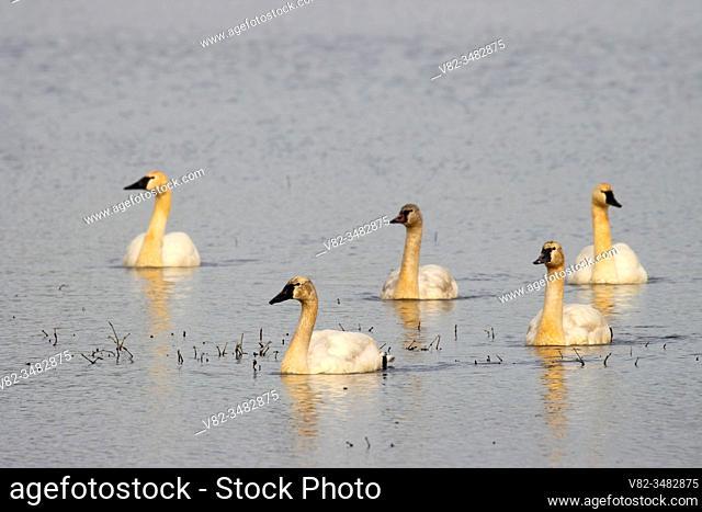Tundra Swans (Cygnus columbianus), William Finley National Wildlife Refuge, Oregon