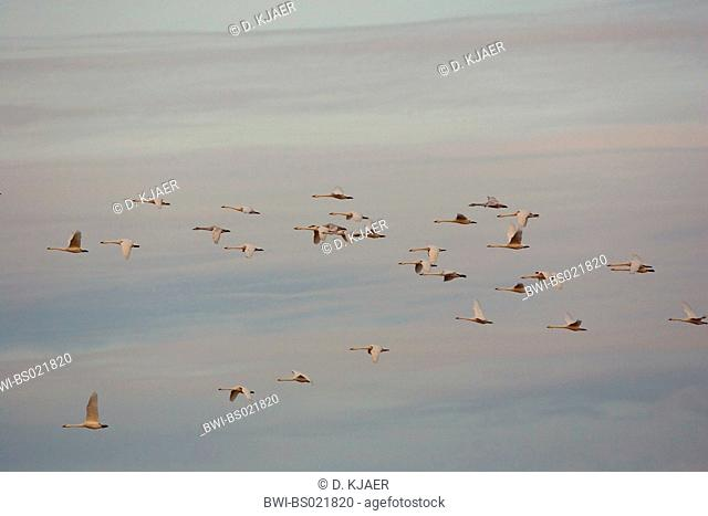 tundra swan (Cygnus columbianus), flock in flight, United Kingdom, England, Gloucestershire, Slimbridge