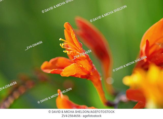 Close-up of a red Freesia blossom in a garden in summer