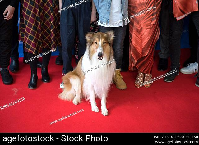 """16 February 2020, Berlin: Longhaired Collie sits on the red carpet in the Zoo-Palast before the premiere of the film """"""""Lassie - An Adventurous Journey"""""""""""