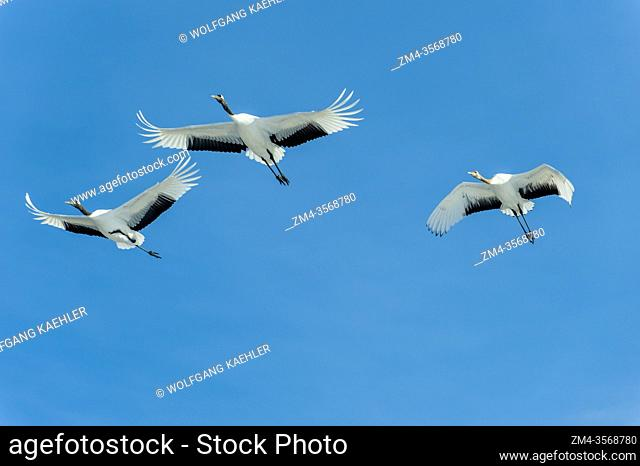 Endangered Japanese cranes (Grus japonensis), also known as the Red-crowned cranes, which are one of the rarest cranes in the world