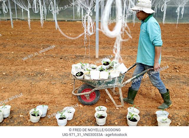 Organic hydroponic vegetable farm. Bell peppers in greenhouse. Farmer at work. Dalat. Vietnam