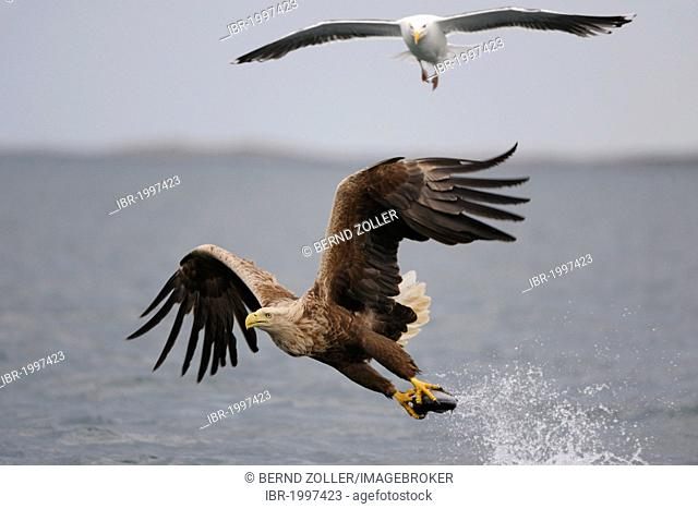 White-tailed Eagle or Sea eagle (Haliaeetus albicilla) in flight with prey, and Great Black-backed Gull (Larus marinus) behind, Flatanger, Nordtrondelag, Norway