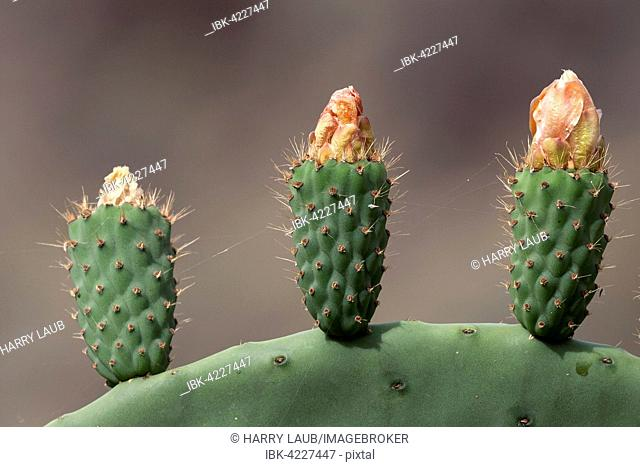 Prickly pear cactus (Opuntia ficus-indica), Opuntia, prickly pear with fruit growing, Gran Canaria, Kanaische Islands, Spain