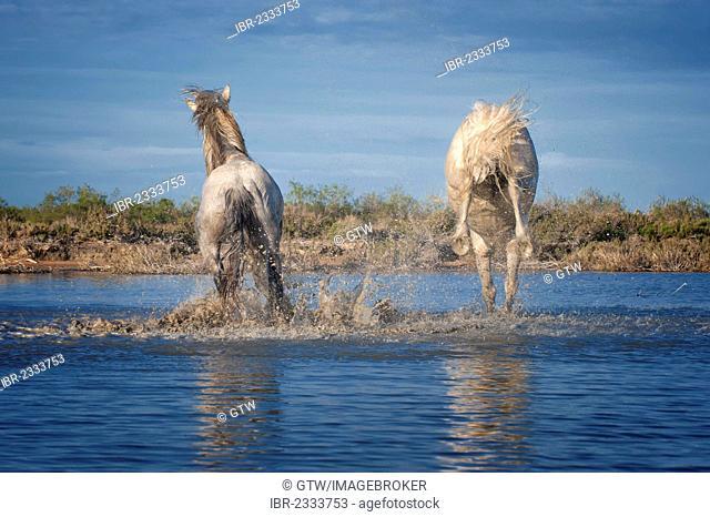 Camargue horses, stallion kicking in the water, Bouches du Rhône, France, Europe