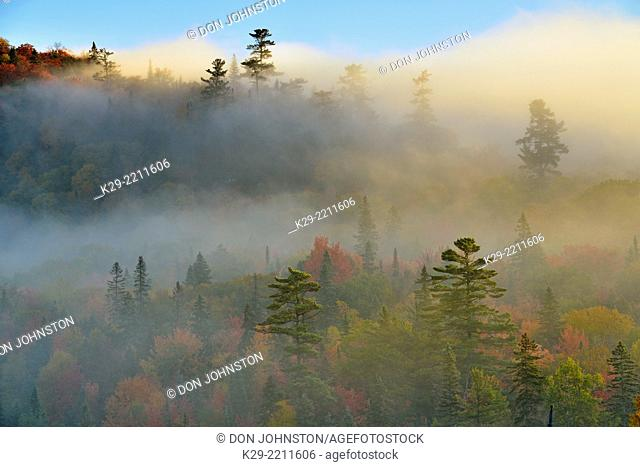 Autumn trees and white pines in morning fog, Lake Superior Provincal Park, Ontario, Canada