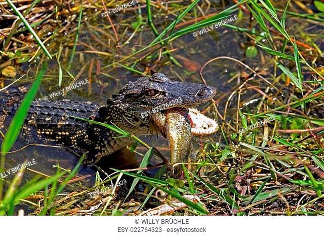 Mini- Alligator mit Beute