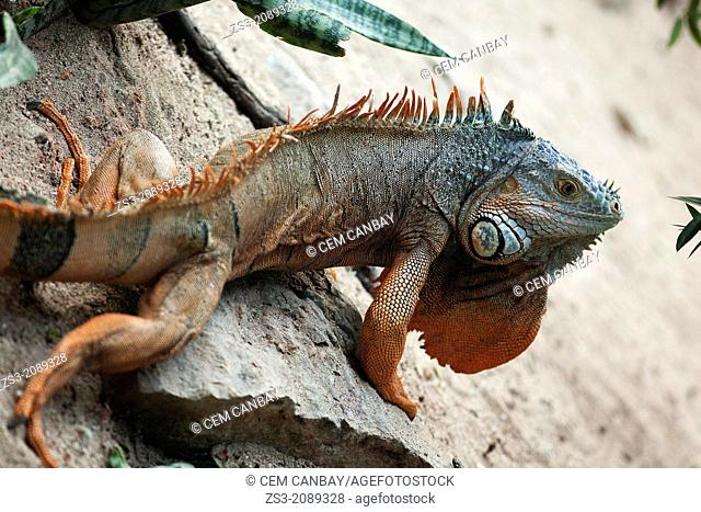 Iguana walking on the rocks, Isla Mujeres, Quintana Roo, Yucatan Province, Mexico, North America