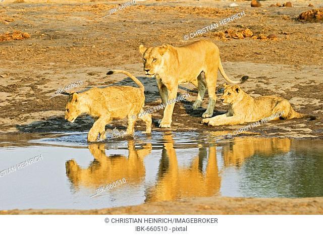 Playing lioness with her cups (Panthera leo) in the waterhole, Savuti, Chobe Nationalpark, Botswana, Africa