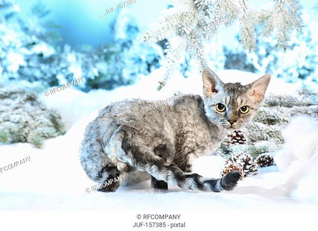 Christmas: Devon Rex cat in the snow