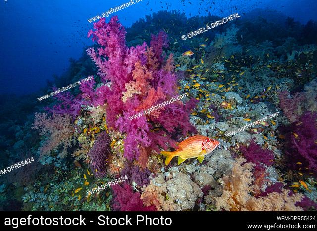 Longjawed Squirrelfish in Coral Reef, Sargocentron spiniferum, Brother Islands, Red Sea, Egypt