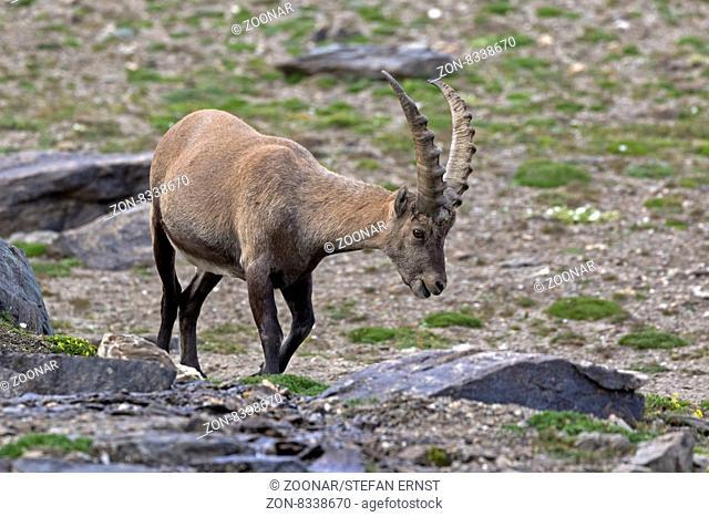 Alpensteinbock, Nationalpark Hohe Tauern, Kärnten, Österreich, Europa / Alpine ibex, High Tauern National Park, Carinthia, Austria, Europe / Capra Ibex