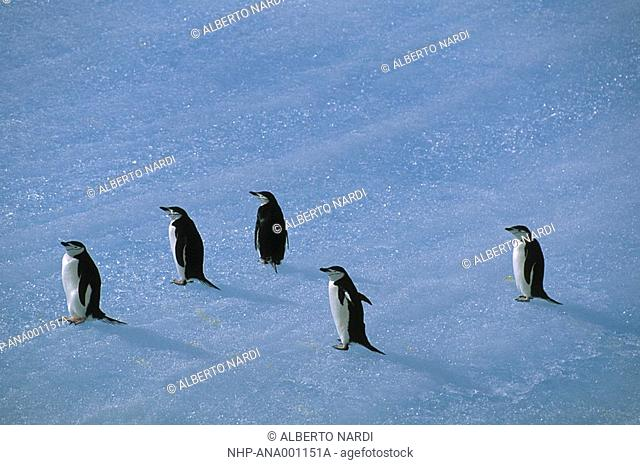 CHINSTRAP PENGUINS, Pygocelis antarctica, on blue iceberg old ice, South Orkney Islands, Antarctica