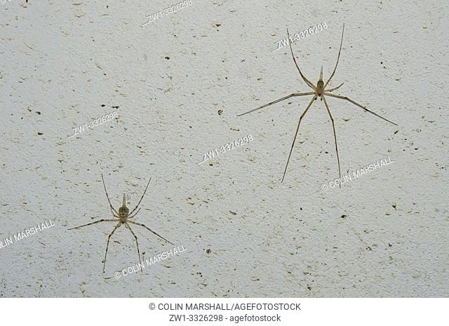 Pair of Tree Trunk Spiders (Hersiliidae family, aka Two-tailed Spider), Klungkung, Bali, Indonesia