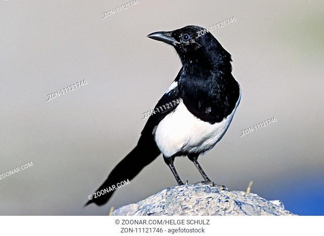 Hudsonelster, das natuerliche Vorkommen liegt in Nordamerika - (Foto Hudsonelster Jungvogel auf einem Felsen) / Black-billed Magpie is found in North America -...