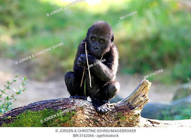 Western Lowland Gorilla (Gorilla gorilla gorilla), infant, native to Africa, captive, Apeldoorn, Gelderland, The Netherlands
