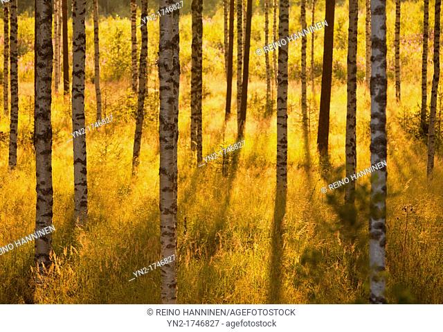 Young birch, betula, trees at evening sun. Location Suonenjoki Finland Scandinavia Europe