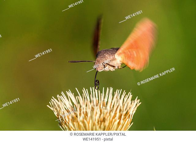 Germany, Saarland, Niederbexbach, A hummingbird hawkmoth suckles on a flower