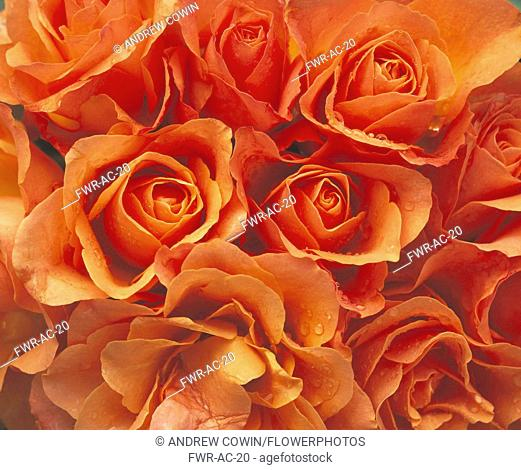 Rose, Rosa, Close up of mass of peach coloured flowers