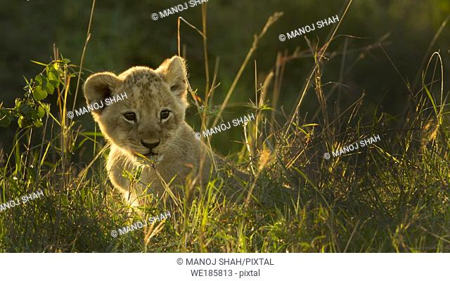 lion cub wandering in the bush