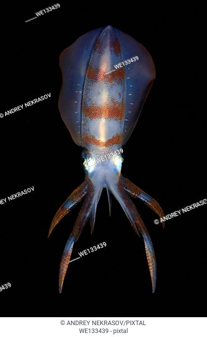 Bigfin reef squid (Sepioteuthis lessoniana), Bohol Sea, Cebu, Philippines, Southeast Asia