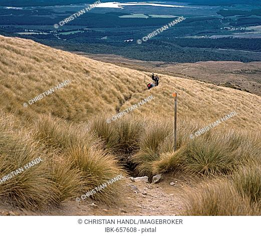 Hiking trail leading through tussock grasses, Tongariro Alpine Crossing, North Island, New Zealand, Oceania