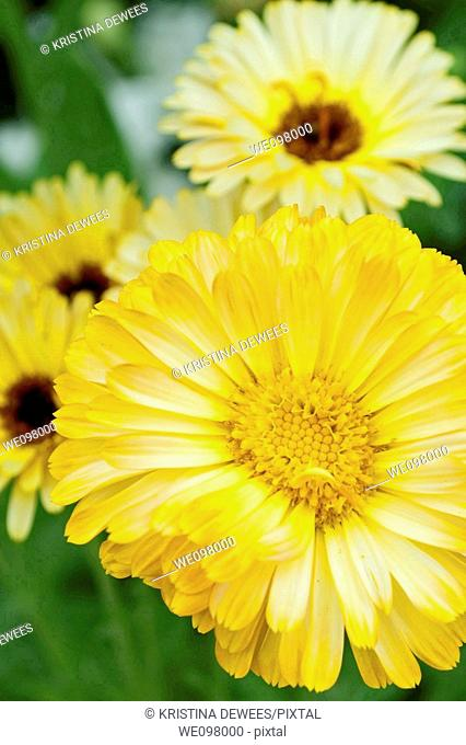 Some bright and dark centered Calendulas