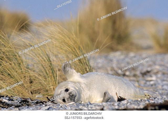 Grey Seal - female - lying / Halichoerus grypus