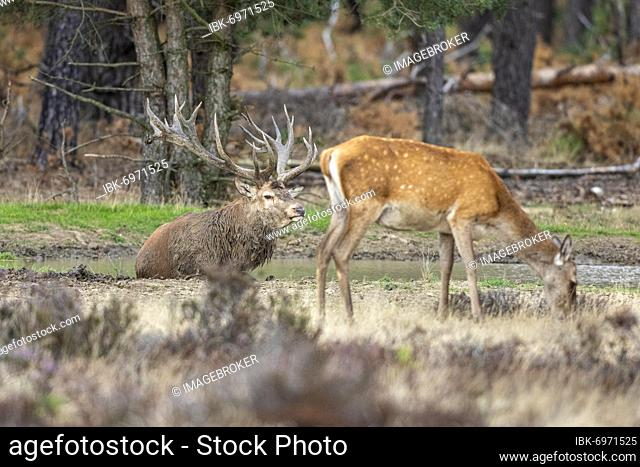 Red deer in a wallow (Cervus elephus L.), NP Hoge Veluwe, Netherlands