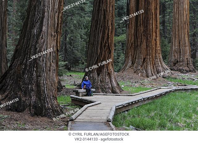 Visitor to the Giant Sequoia's Sequoia National Park, California
