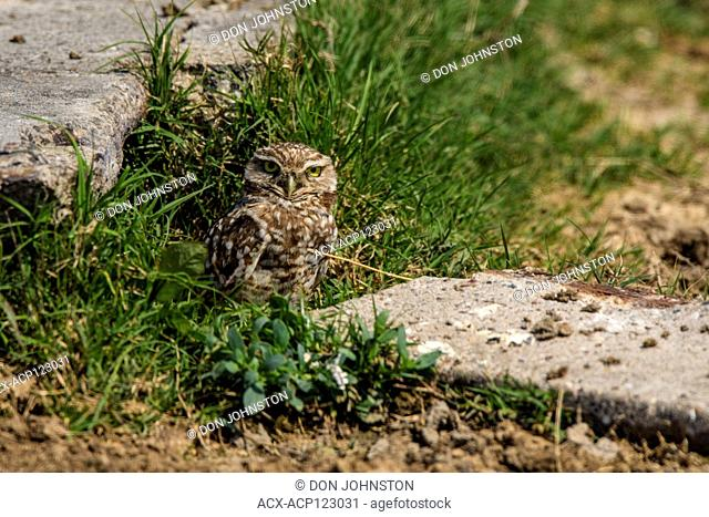 Burrowing owl (Athene cunicularia) Individual standing near burrow near man-made structure, Anahuac NWR, Texas, USA