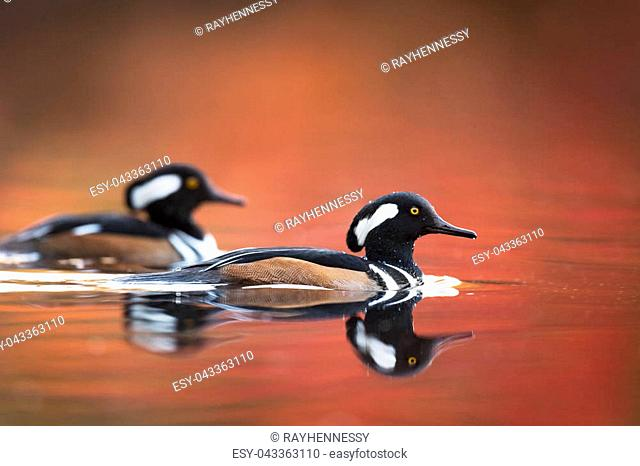 A pair of male Hooded Mergansers swim on the red and orange water with autumn colors in the background in soft light