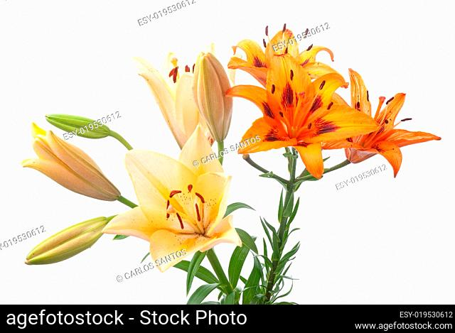 Colorful fresh lillies