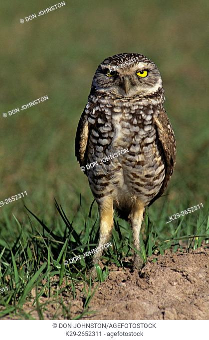 Burrowing owl (Athene cunicularia) near nest burrow Cape Coral, Florida, USA