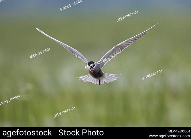 Whiskered Tern - adult bird in flight - Germany