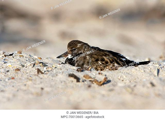 Ruddy Turnstone (Arenaria interpres) sleeping on beach, Helgoland, Germany