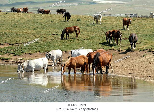 horses and cows at watering place, Campo Imperatore in Abruzzo , Italy