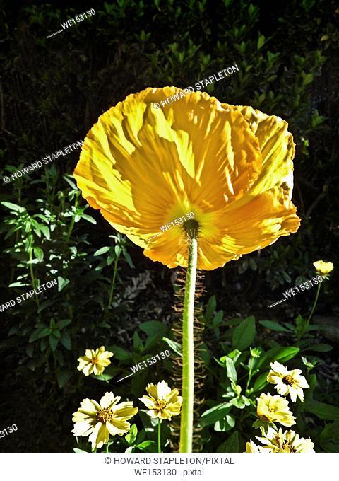 Iceland poppy Papaver nudicaule or ( Papaver croceum, P. miyabeanum, P. amurense,and P. macounii), (from wikipedia)