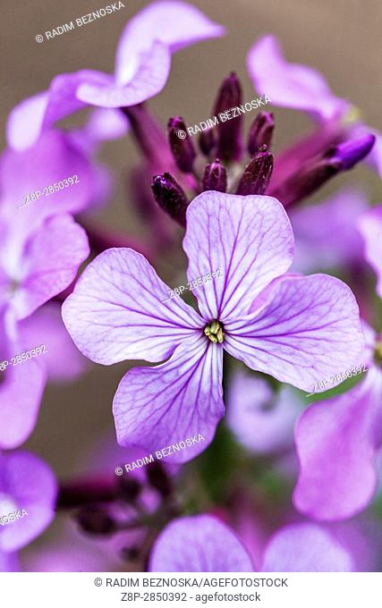 Lunaria annua common name Honesty in bloom