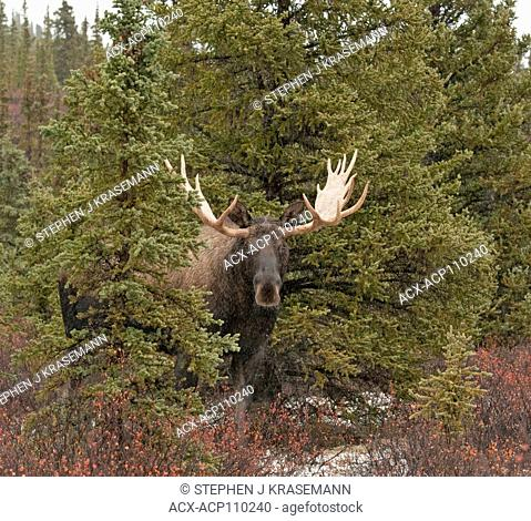 Bull Moose in Spruce trees and autumn tundra, (Alces alces), Denali National Park, Alaska, USA