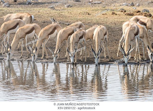 Springbok (Antidorcas marsupialis).Etosha National Park. Namibia.Africa