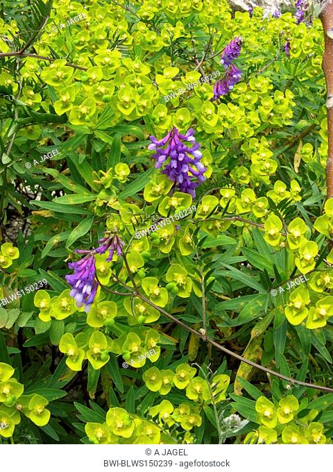 Woody Spurge Euphorbia dendroides, blooming plant together with hairy vetch, Italy, Sicilia