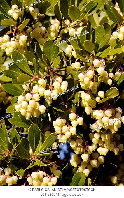 Strawberry tree (Arbutus unedo) flowers. Extremadura. Spain