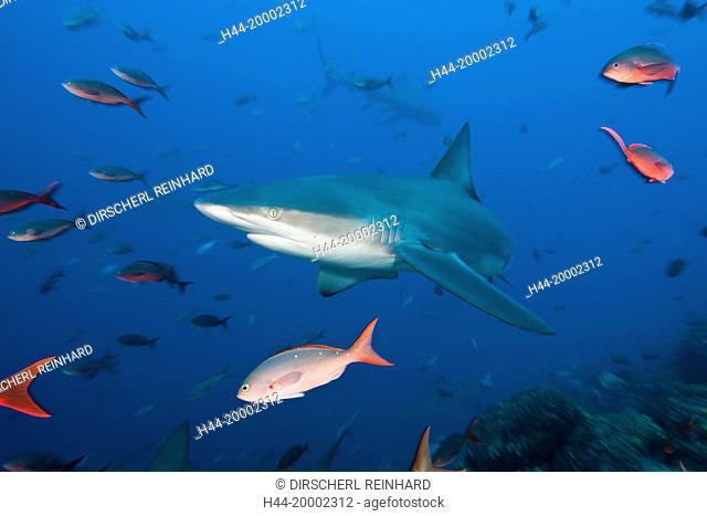Shark, Carcharhinus galapagensis, Galapagos, Wolf Island, Ecuador