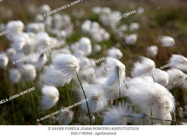 White cotton-grass Eriophorum scheuchzeri or Eriophorum capitatum, National park of Pallas-Yllästunturi, Lapland, Finland