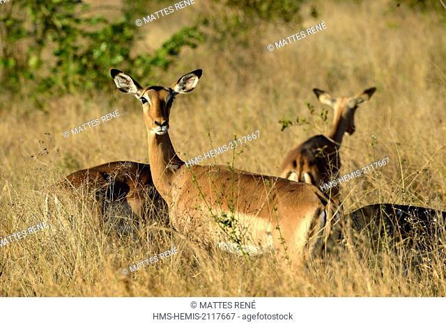 South Africa, Mpumalanga, Kruger National Park, Impala (Aepyceros melampus)