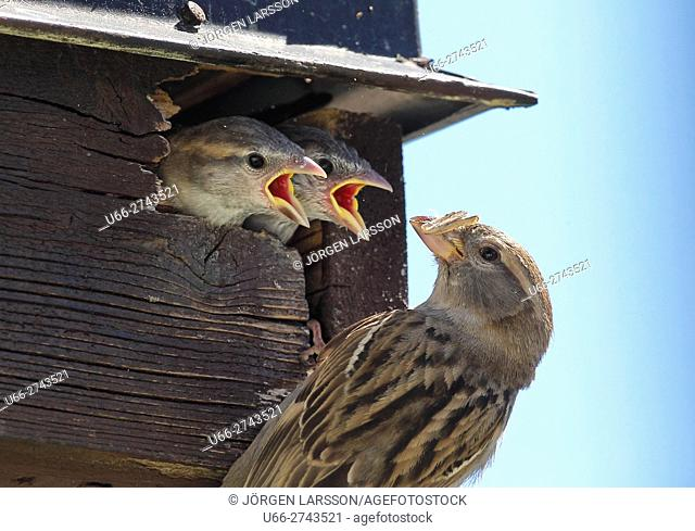 House sparrow, Passer domesticus, Sweden