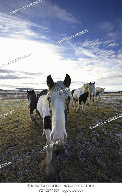 A herd of Tinker horses is approaching on a frosty pasture under a cloudy sky in Anundsjoe, Sweden